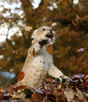 Ferocious Lion Cub Playing In The Autumn Leaves