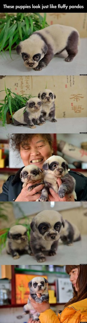 Or Do These Baby Pandas Look Just Like Fluffy Puppies?