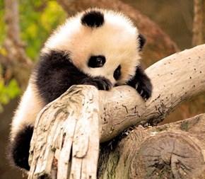 Shy Baby Panda Squee!