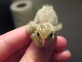 Button Quail chick