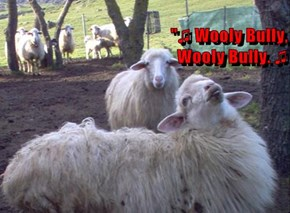 Watch Out for This Guy!  Sheep Not Known for Their Singing Skills!