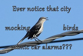Ever notice that city mocking                  birds mimic car alarms???