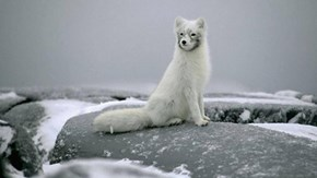 Arctic Fox on a Rock