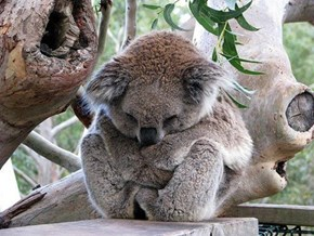 Sleepy Aussie Marsupial