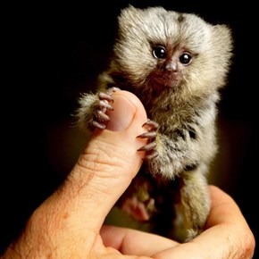 This Baby Marmoset Will Melt Your Heart