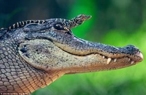 I'm a Big Brave Alligator!