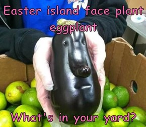 Easter island face plant eggplant   What's in your yard?