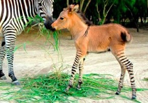 Don't Call This Zonkey Wonky!