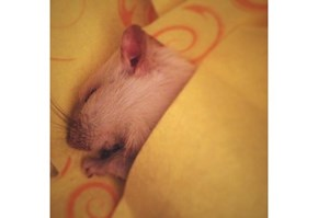 My little rattie who passed away. R.I.P little friend.
