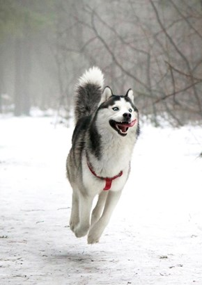 Photoshop Battle of the Day: The Very Happy Husky