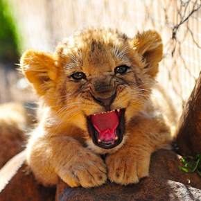 A Mighty Roar!