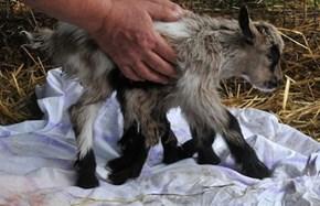 Octogoat Born on a Farm in Croatia