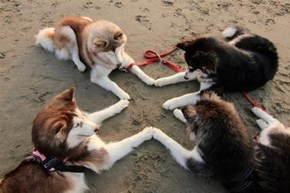 The Secret Meeting of Huskies May Now Begin
