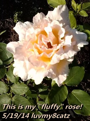 "This is my ""fluffy"" rose!             5/19/14 luvmy8catz"