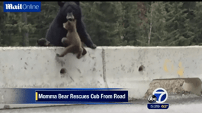 A Mother Bear Proves Her Love by Rescuing Her Cub From a Busy Highway