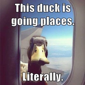 This duck is going places.  Literally.