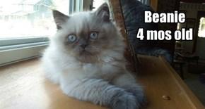 Allcats Kittehs Beanie