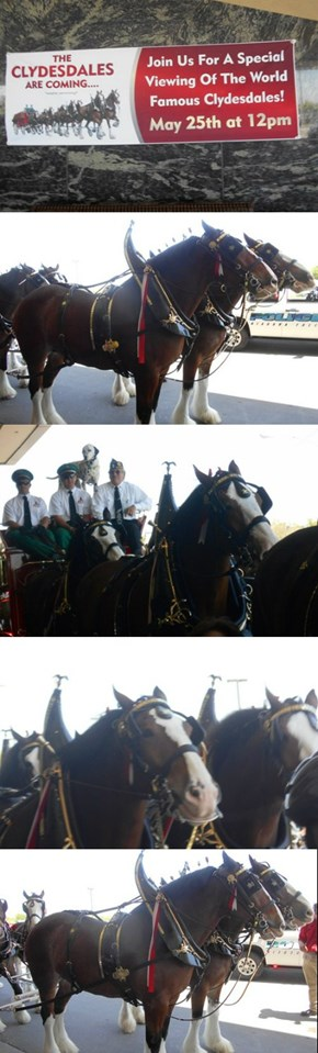 Budweiser Clydesdales, Niagara Falls NY, May 25th, 2014