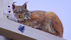 Lynx on a Telephone Pole (photo by Margaret Martin)