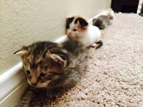 Army of Crawlin' Kittehs