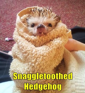 Snaggletoothed Hedgehog