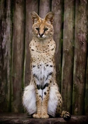 Serval Cat is a Regal Feline
