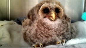 Ais a Great Horned Owl!  Fear Meh!