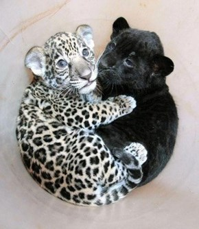 Big Cat Cub Hug