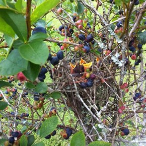 Birdies in the Berries
