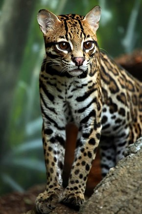 You Sure Have an Ocelot of Spots!