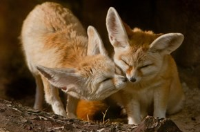 A Fennec Foxy Kiss