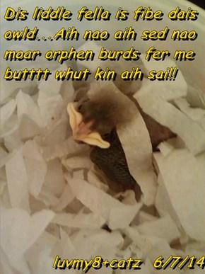Dis liddle fella is fibe dais owld...Aih nao aih sed nao moar orphen burds fer me butttt whut kin aih sai!!  luvmy8+catz  6/7/14