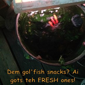 Dem gol'fish snacks? Ai gots teh FRESH ones!