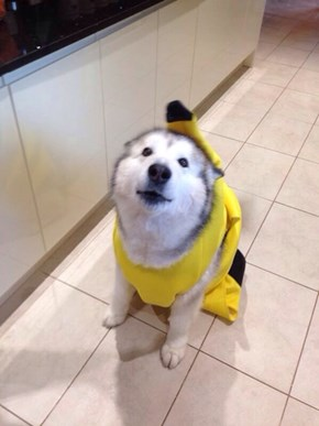 Banana Suits: Not Just For Humans