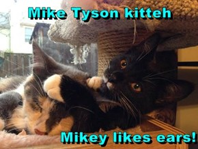 Mike Tyson kitteh  Mikey likes ears!