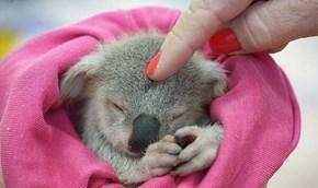 Koala Squee