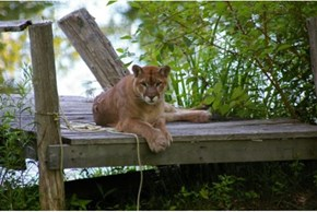 Cougar's casual backyard visit surprises couple in Grafton, Ont.