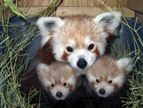 Red Panda Family Squee