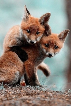 Two Foxy Cubs