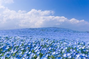 Millions of Baby Blue Eye Flowers Make Hitachi Seaside Park Look Like a Botanical Ocean