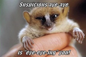 "Suspicious aye-aye  is ""eye-eye-ing"" you!"