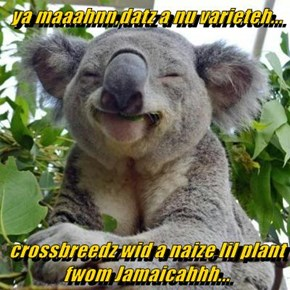 ya maaahnn,datz a nu varieteh...  crossbreedz wid a naize lil plant fwom Jamaicahhh...