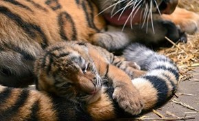 Never Pull a Tiger by the Tail...but it's Okay to Snuggle it