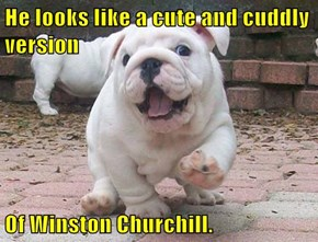 He looks like a cute and cuddly version  Of Winston Churchill.