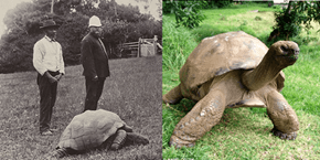 Animal of the Day: Jonathan the Tortoise in the Year 1900 and Today