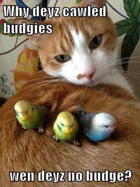 Why deyz cawled budgies  wen deyz no budge?