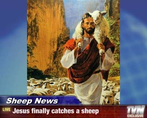 Sheep News - Jesus finally catches a sheep