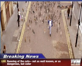 Breaking News - Running of the cats-- not as well known, or as dangerous, but cuter