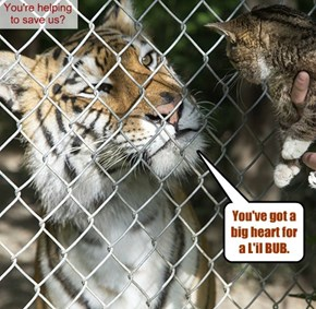 "L'il BUB ""was the star of Greenpeace's campaign to save the wild tigers"""