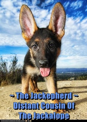 ~ The Jackepherd ~  Distant Cousin Of             The Jackalope